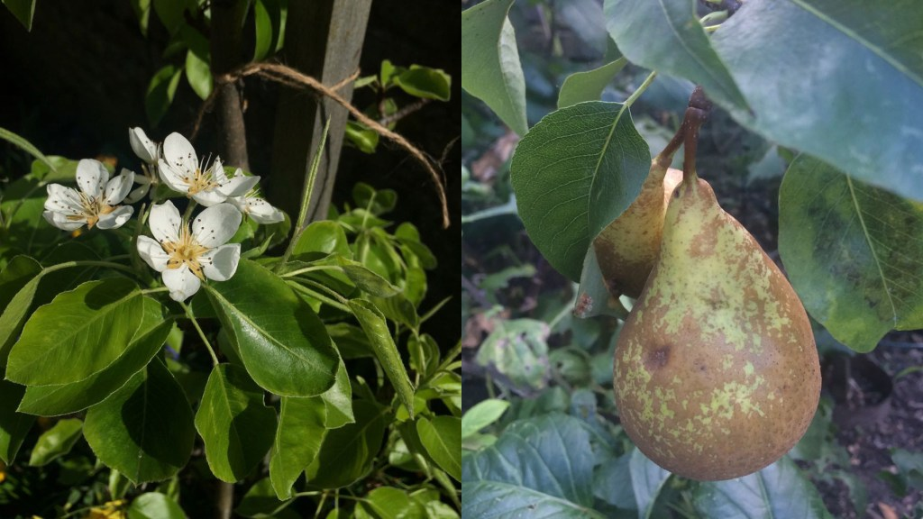 Pear blossom and fruit.
