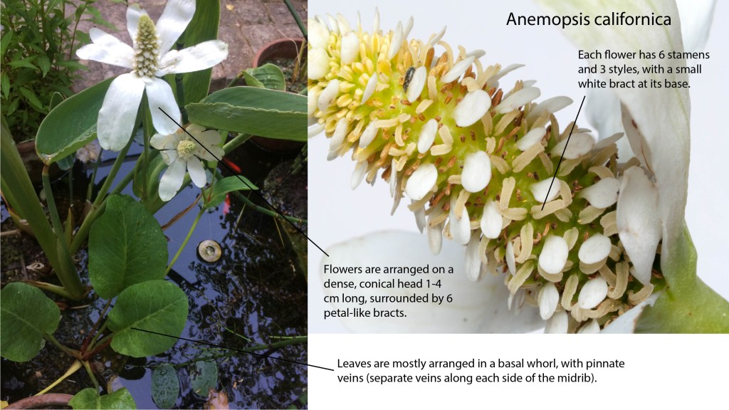 The main characters/features for identifying Anemopsis californica plants.
