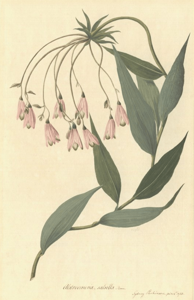 Bomarea edulis, as painted by the artist on board the Endeavour, Sydney Parkinson. © The Trustees of the Natural History Museum, London.