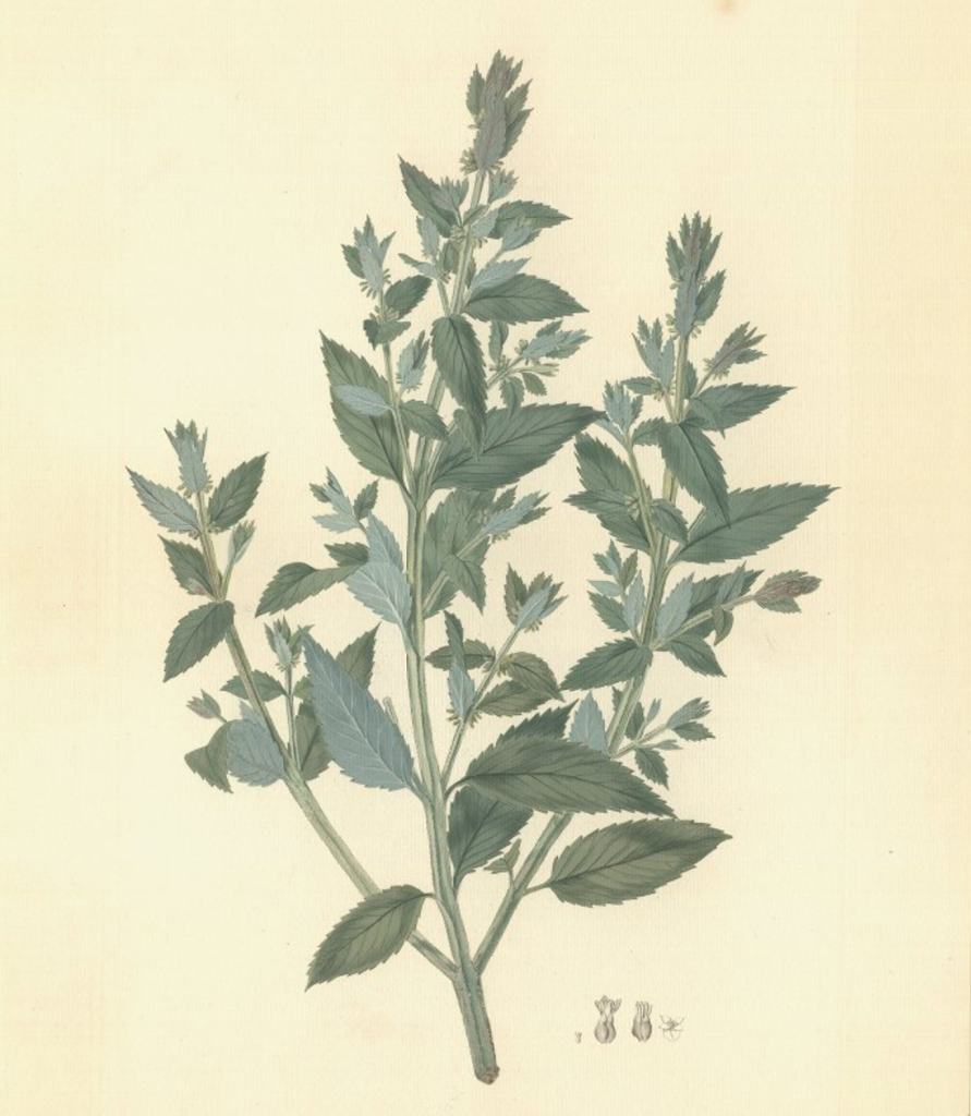 Watercolour painting of Haloragis erecta by John Frederick Miller based on preparatory studies by Sydney Parkiinson on board Endeavour in 1769. Joseph Banks and his party collected this species at Tolaga Bay, New Zealand in 1769.© The Trustees of the Natural History Museum, London.