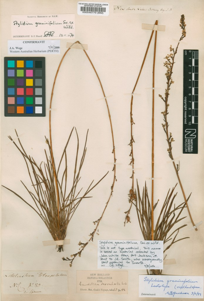 Original specimen of Stylidium graminifolium collected by Banks and Solander in Botany Bay in 1770.© The Trustees of the Natural History Museum, London.