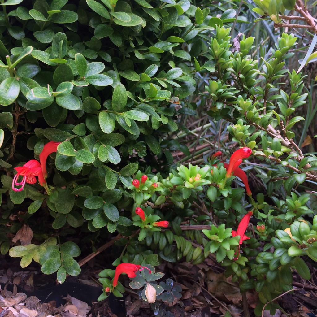 Aeschynanthus buxifolius as an alternative to box hedging (Buxus sempervirens).