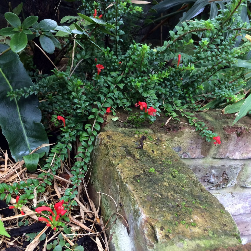Flowers of Aeschynanthus buxifolius growing in our garden.