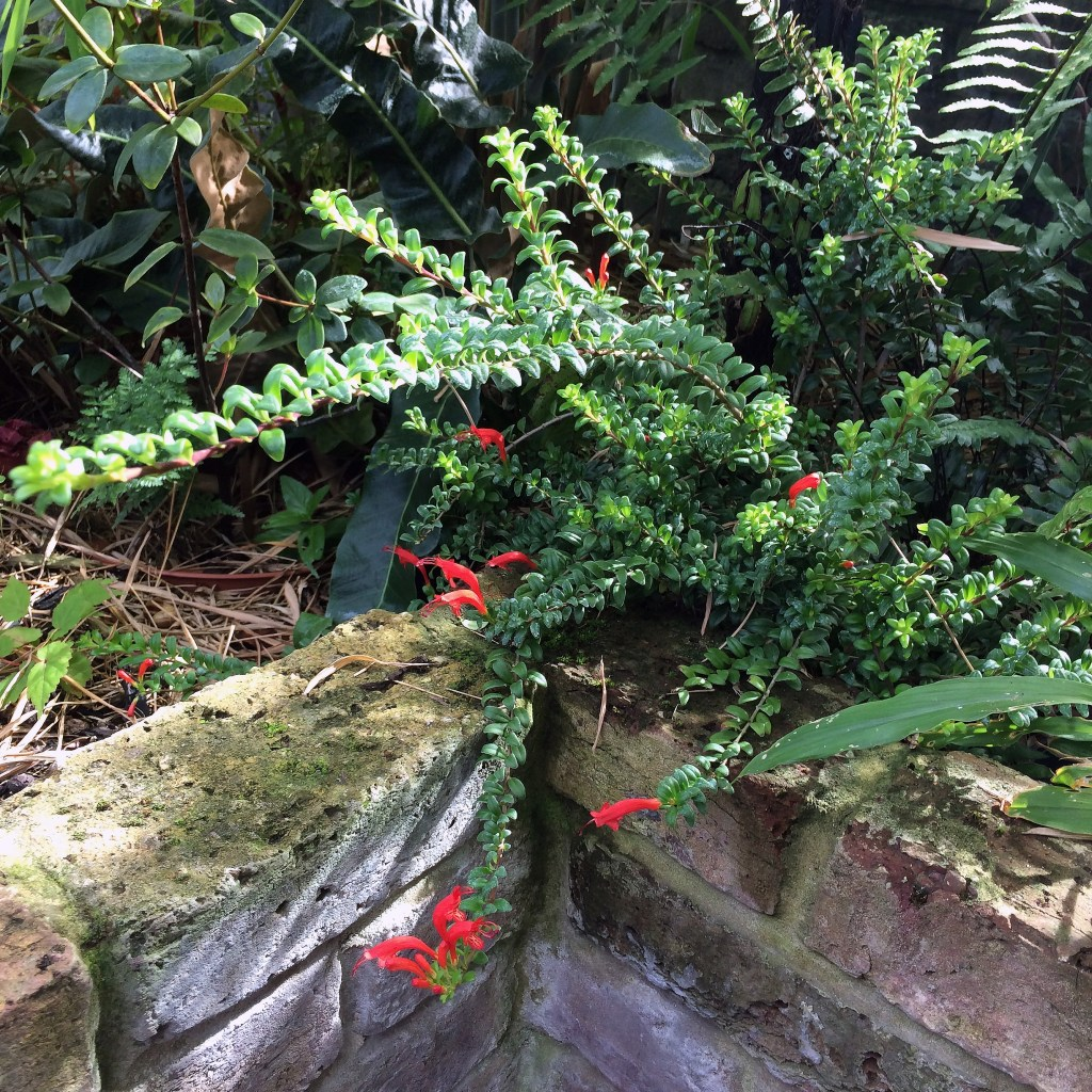 Aeschynanthus buxifolius growing in our garden.