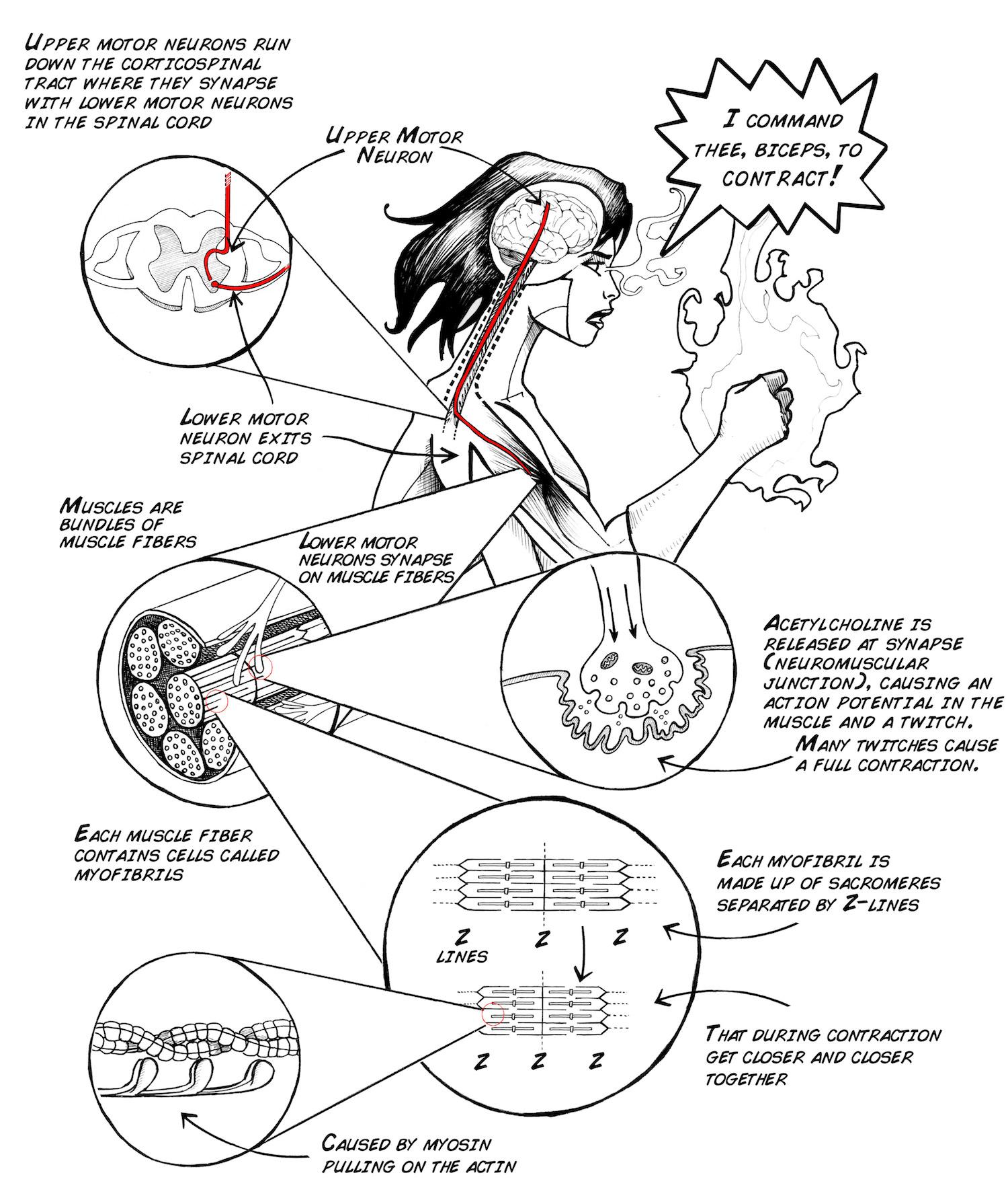 Emg Body Diagram
