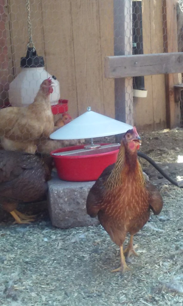 keep chickens cool during extreme heat