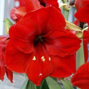 Bloomsz Economy Red Lion Amaryllis Bulb Plant (12 Pack)