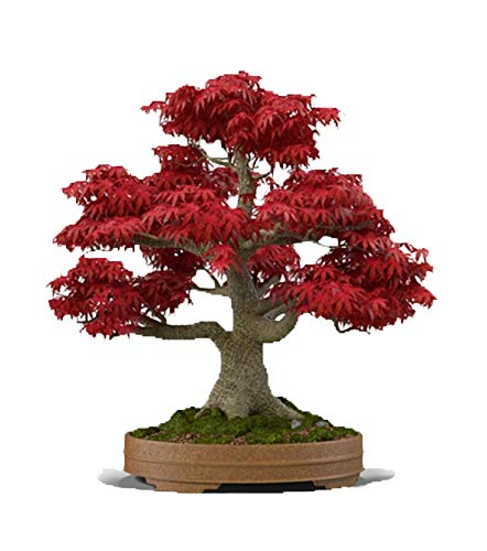 MABES WAREHOUSE Japanese Red Maple Bonsai Tree 20 Seeds - Acer Palmatum/Real Beautiful Air Purifier Bonsai Plant Live Indoor Tree Plants, Japanese Home Decor Bonsai Garden Seed Pack