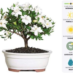 """Brussel's Live Gardenia Outdoor Bonsai Tree - 4 Years Old; 6"""" to 8"""" Tall with Decorative Container - Not Sold in Arizona"""