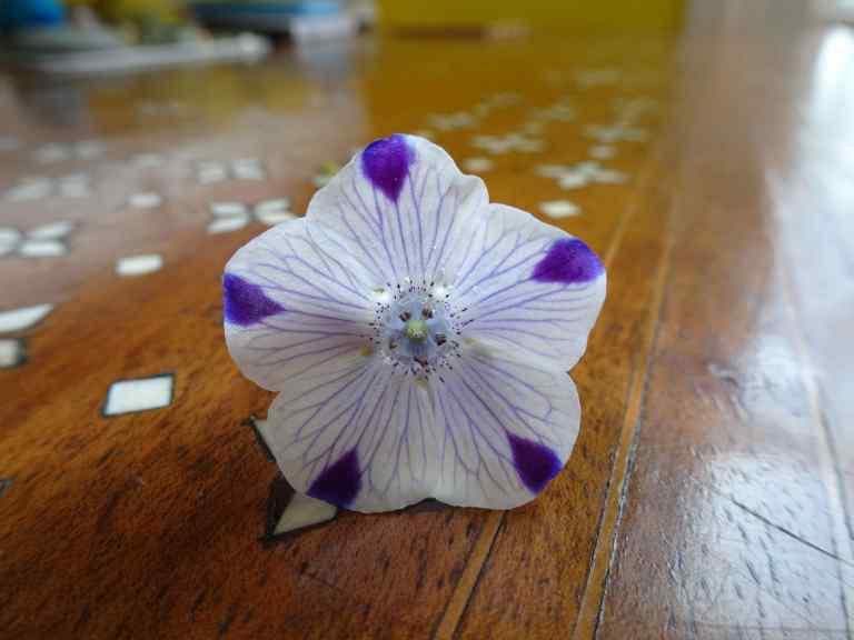 Nemophilia maculata (five spot)