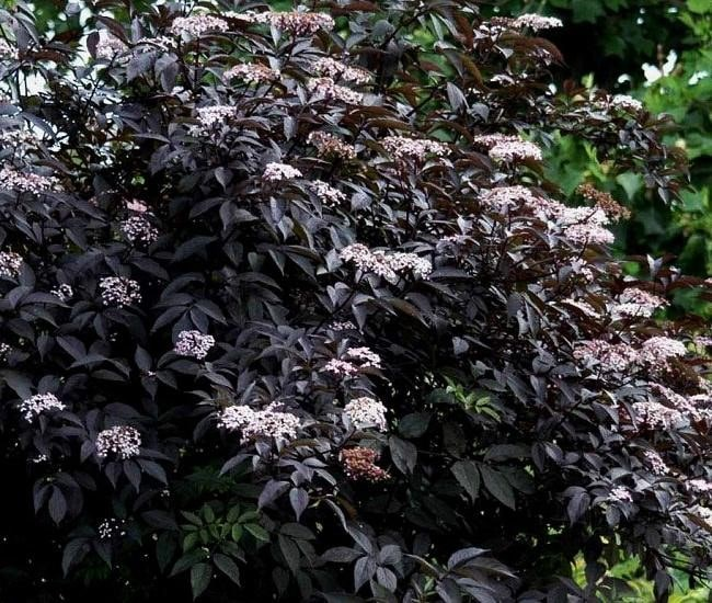 Top 20 Unique Stunning Black Flowers for your Backyard 11