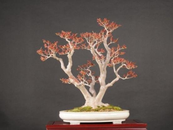 Top Eye-Catching Types of Bonsai Trees 2