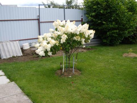 How to Grow & Care for Hydrangea Trees 6