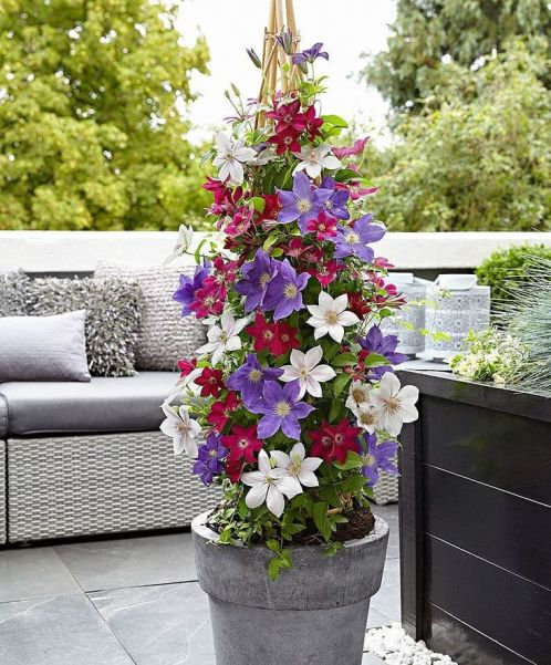 Growing Clematis in container