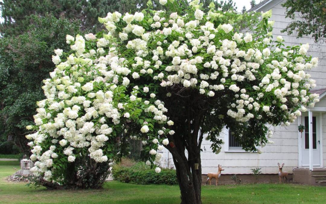 How to Grow & Care for Hydrangea Trees