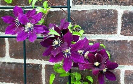 protect a clematis in pot