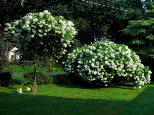 How to Grow & Care for Hydrangea Trees 7