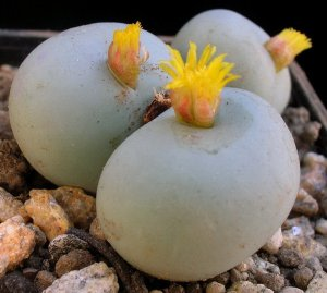 three bubble flowering succulents