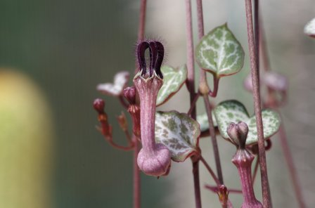 Entangled String of Hearts plant