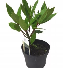 Bay Trees rooted in pot