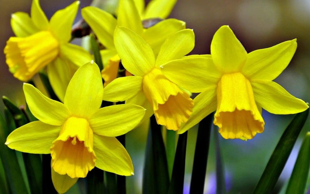 When & How to Plant Daffodil Bulbs