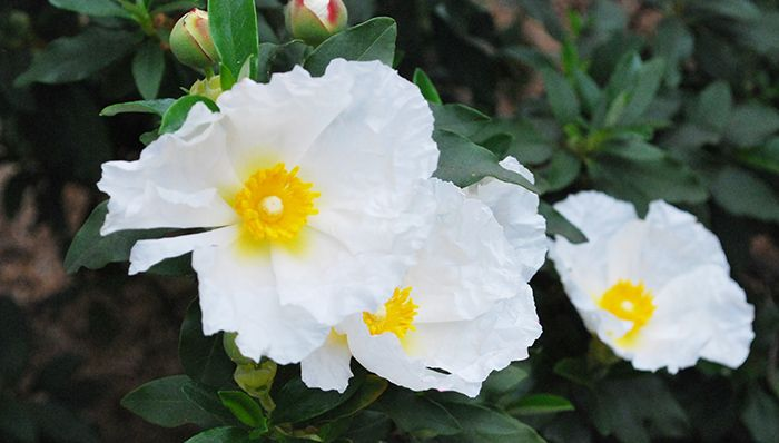 Rock Rose Plant (Cistus) : Full Care Guide