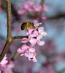 HONEYBEE ON REDBUD