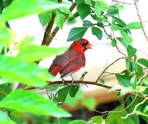A MALE CARDINAL PANTING ON A HOT SUMMER DAY