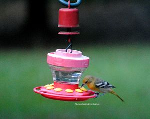 Baltimore-Oriole feeding from hummingbird feeder