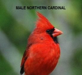 male-northern-cardinal-2