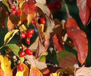 FLOWERING DOGWOOD FALL FOLIAGE & BERRIES