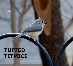 TUFTED TIMOUSE - BLOG - 24 Jan2018