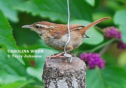 Expect To Find Carolina Wren Nests In Odd Places Backyardwildlifeconnection
