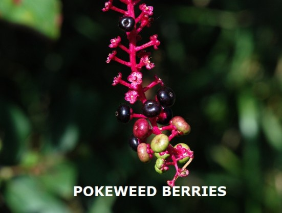 POKEWEED BERRIES DISPLAYED ON RED STEMS - BLOG - 23 Aug 2020 (1)