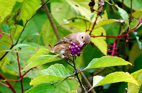HOUSE FINCH EATING AMERICAN BEAUTYBERRY