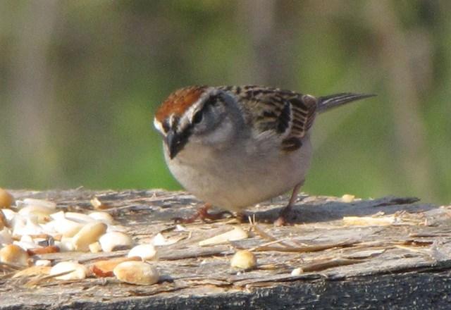 Identify That Sparrow