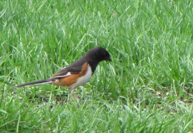 More Information about the Eastern Towhee