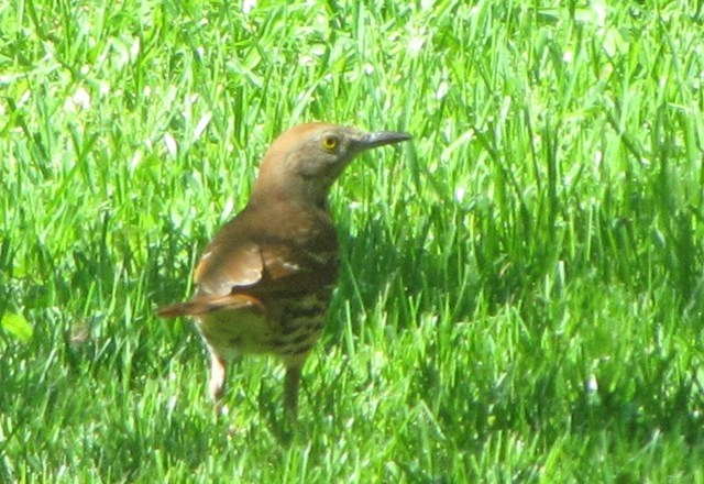 First Brown Thrasher Feeds on Insects in the Backyard!