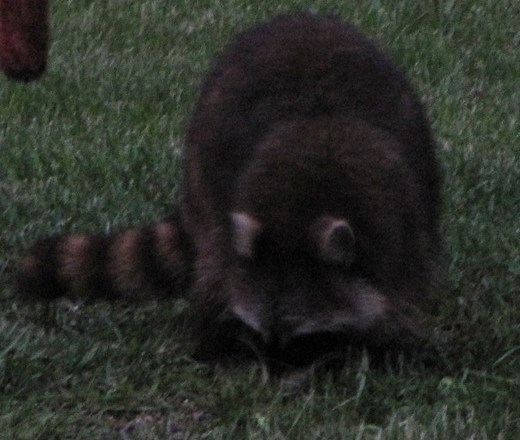 Raccoon comes into the Feeder Area
