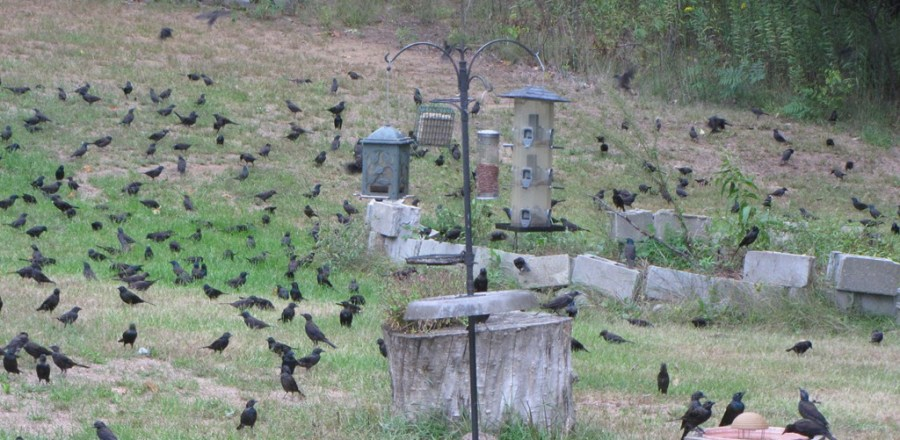 A plague of blackbirds