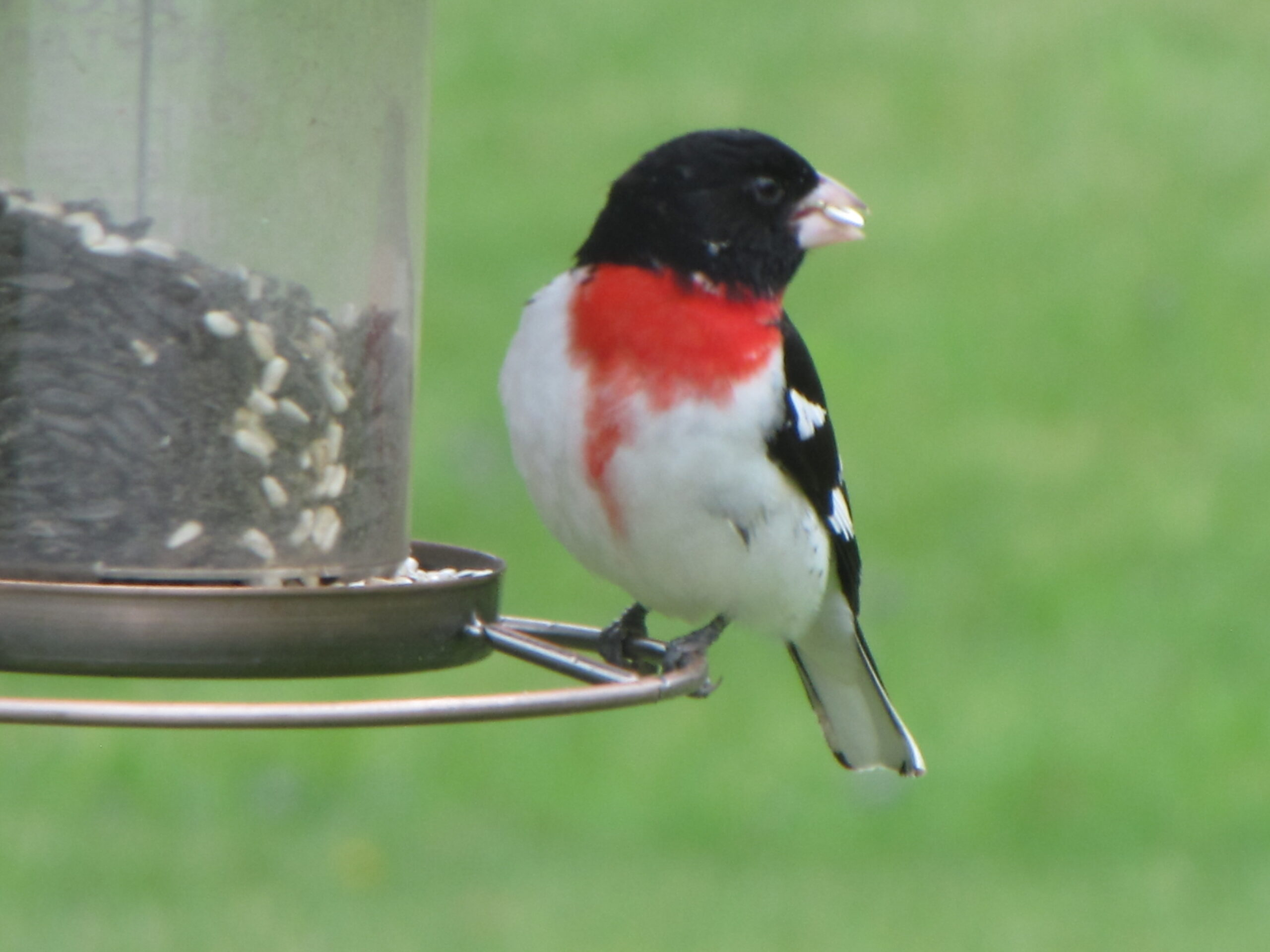 Rose Breasted Grosbeak takes a seed from the feeder