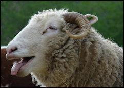 Woolly headed