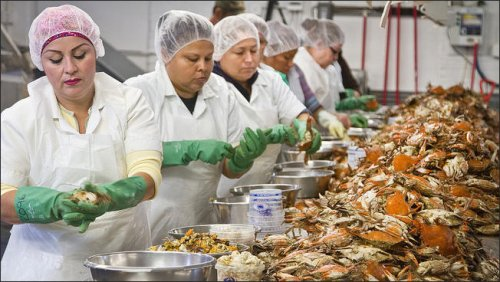 Even the H2-B visa program can't alleviate the crab picker shortage at Graham & Rollins.