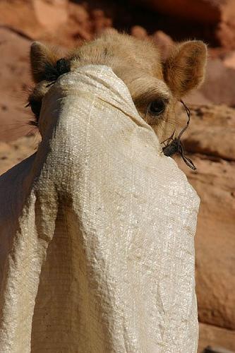 camel-veil