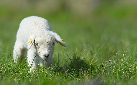 cute-lamb