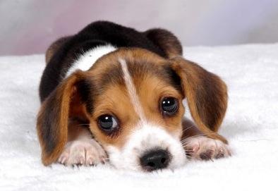 cute-beagle1