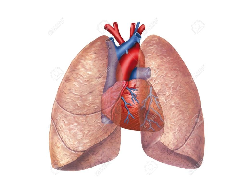 Unit 10 Cardiovascular Amp Respiratory Systems