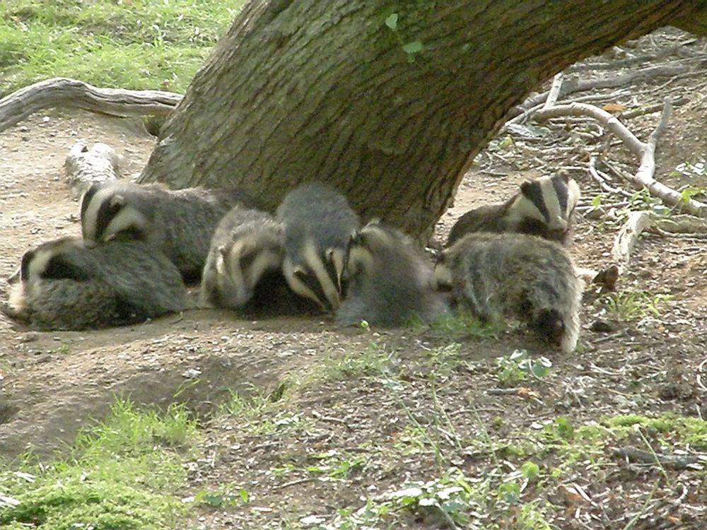 Badgers outside the sett