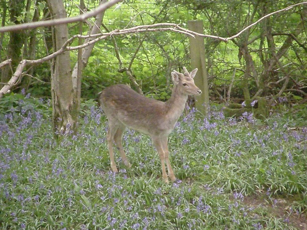 Fallow deer buck among the bluebells