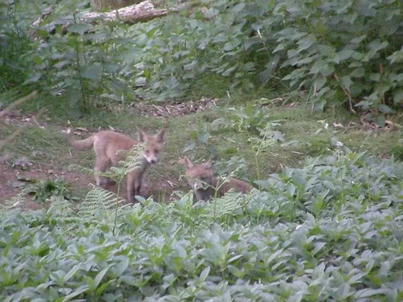 The fox cubs (damn that autofocus!)
